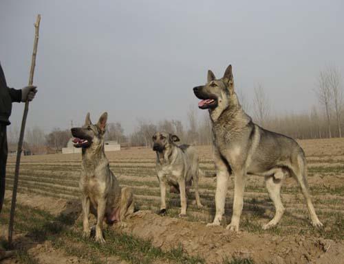 狼青犬多少钱3