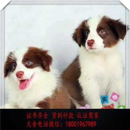 出售精品边牧 打完疫苗证书齐全 提供养狗指导
