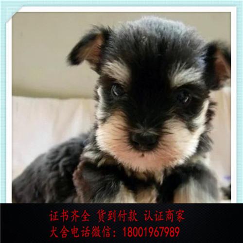 出售精品雪纳瑞打完疫苗证书齐全 提供养狗指导