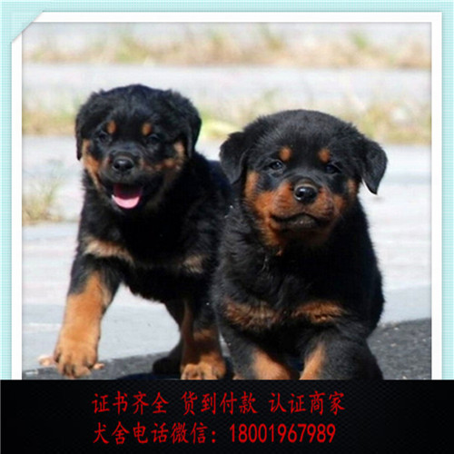 出售精品罗威纳犬 打完疫苗证书齐全 提供养狗指导