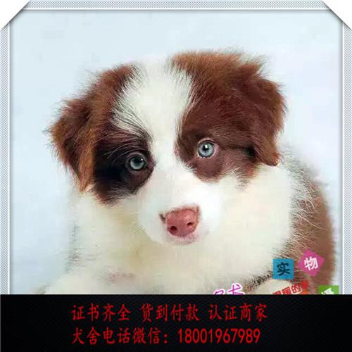 出售精品边牧打完疫苗证书齐全 提供养狗指导
