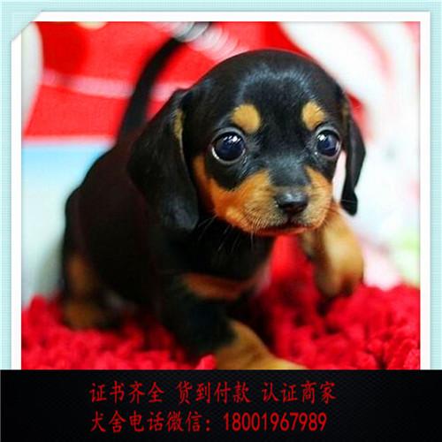 出售精品猎肠犬打完疫苗证书齐全 提供养狗指导1