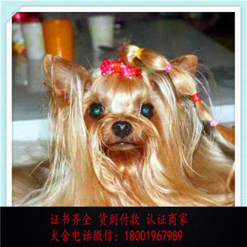 出售精品约克夏打完疫苗证书齐全 提供养狗指导