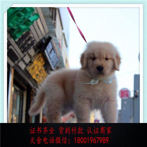 出售精品金毛打完疫苗证书齐全 提供养狗指导