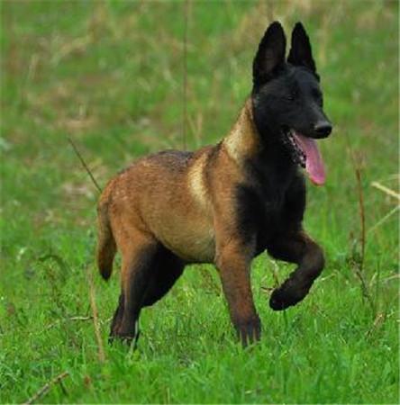 马犬来啦猛犬中的战斗机特别护主 特别霸气