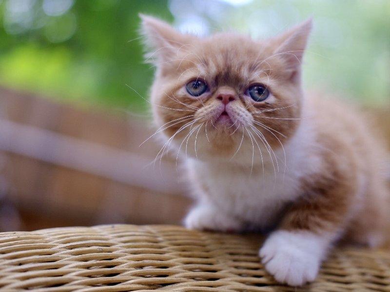 出售纯种加菲黄白净梵正八子大脸猫宠物异短小猫活体幼猫