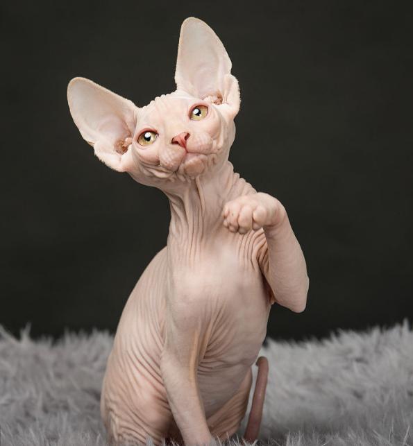 家养纯种无毛猫CFA认证包健康白皮蓝眼鸳鸯眼签协议