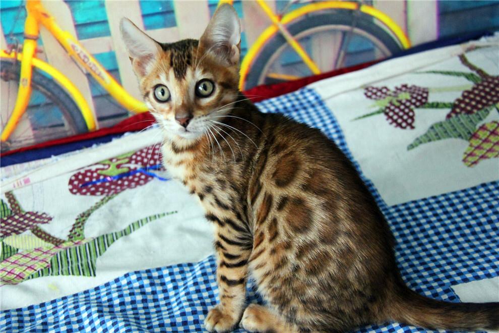 自家繁殖一窝精品孟加拉豹猫包纯种签协议包90天健康