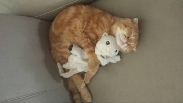 猫咪活体小猫家猫土猫活体中华田园黏人宠物幼猫抓鼠虎纹狸