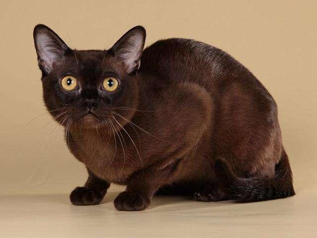 纯种美国缅因猫活体幼猫宠物猫红虎斑缅因猫咪外形霸气可上门
