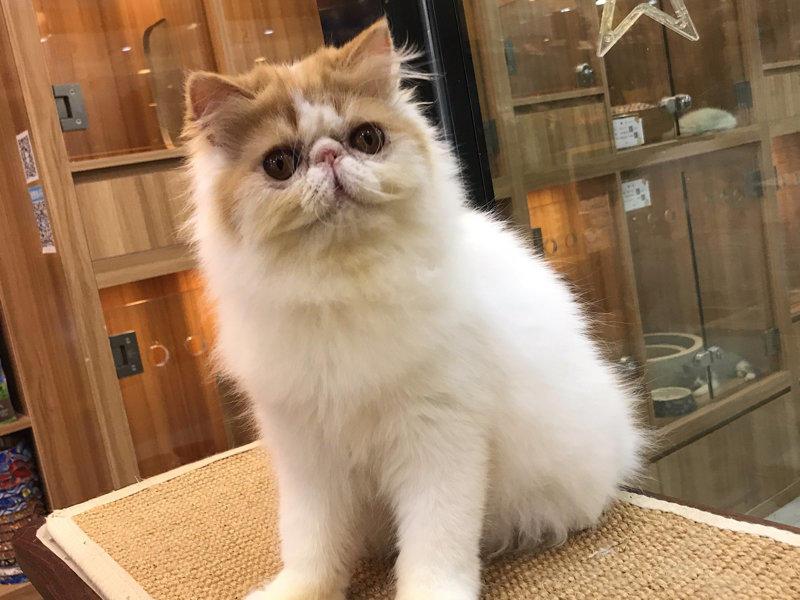 名门萌宠出售精品级宠物级繁育级赛级均有宠物猫咪