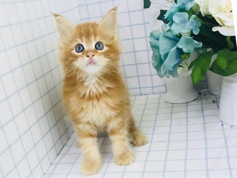 出售中华田园猫活体宠物猫纯正血统包子脸蓝灰色猫咪加菲猫正规