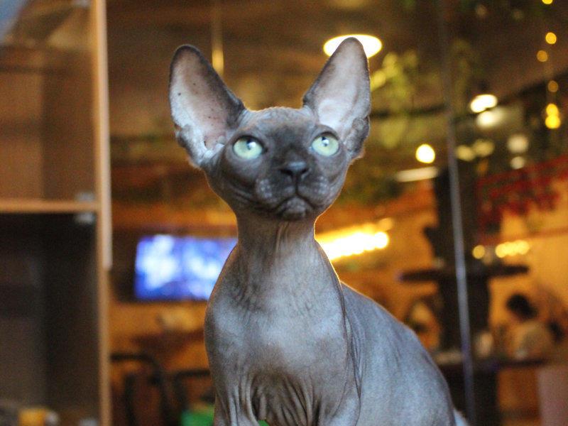 自家繁殖宠物猫 无毛猫 包纯种健康 包养活 本地送货