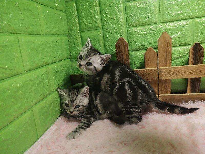 出售纯种美国短毛猫 美短加白 折耳银虎斑起司猫活体幼猫