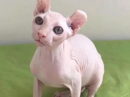 猫舍出售纯种无毛猫包纯种包健康 可签协议