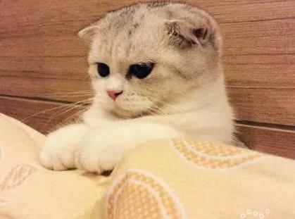 猫舍出售折耳猫 90天质保 可签协议