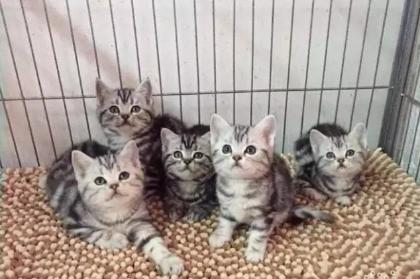 猫舍出售 美短 英短,蓝白,银渐层,加菲猫,布偶,金吉拉