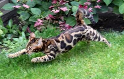 猫舍出售纯种豹猫 包养活 可签协议