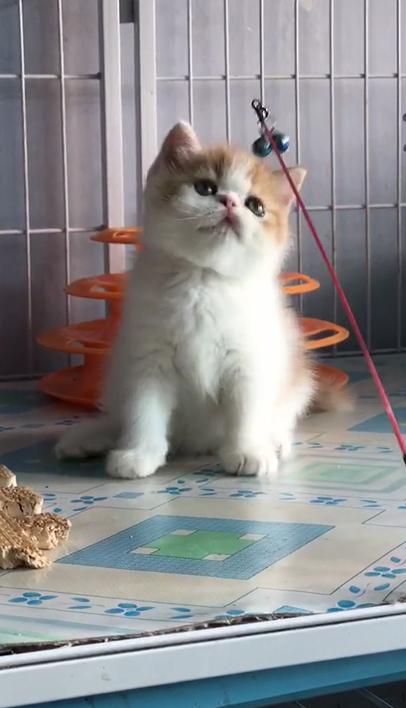 出售中华田园猫纯种中华田园猫活体中华田园猫幼猫