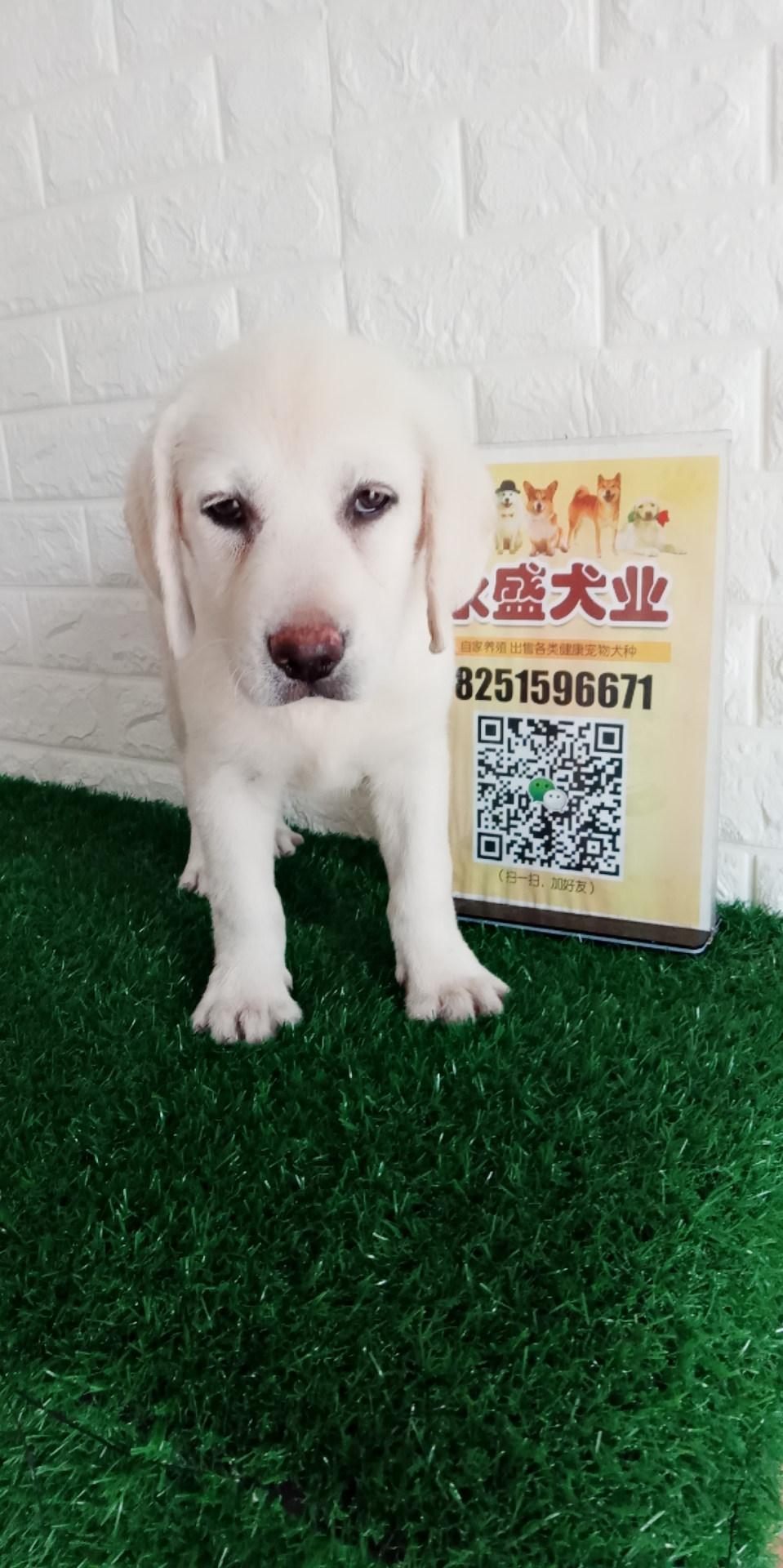 拉布拉多犬 双血统 提供血统证书芯片 奶白色 公母均有
