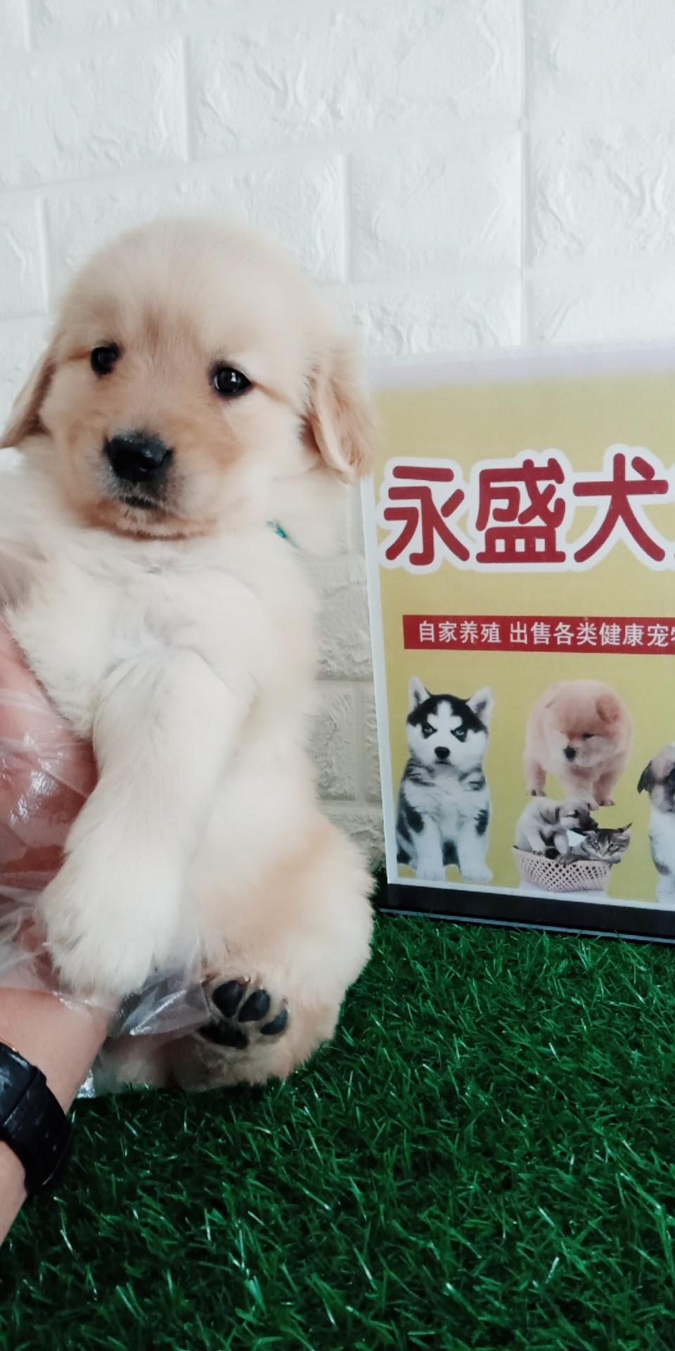 金毛犬 单血统 双血统 提供血统证书芯片 公母均有