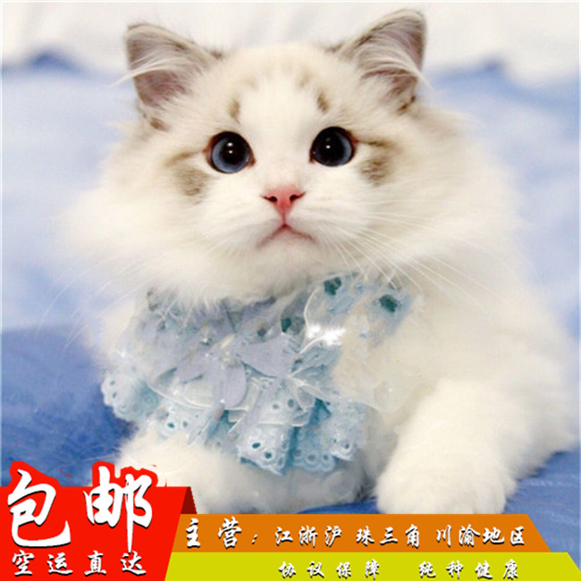 专业猫舍繁育布偶猫 包疫苗包邮 CFA认证