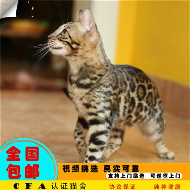 CFA会员纯种豹猫 保障血统纯正疫苗驱虫完全到位