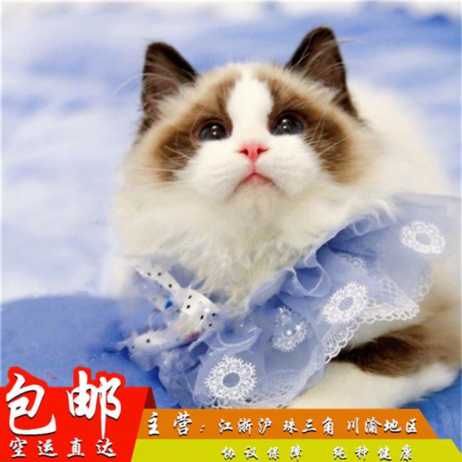 CFA会员纯种布偶猫 保障血统纯正疫苗驱虫完全到位