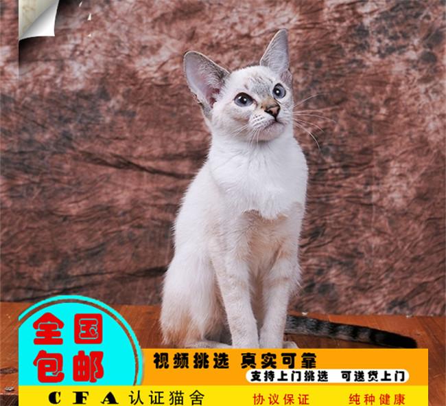 家养暹罗猫活体宠物猫仙女猫优雅高贵气质带CFA证书