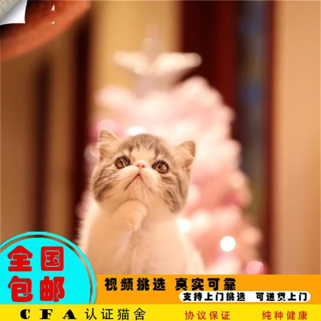 家养加菲猫活体宠物猫仙女猫优雅高贵气质带CFA证书2