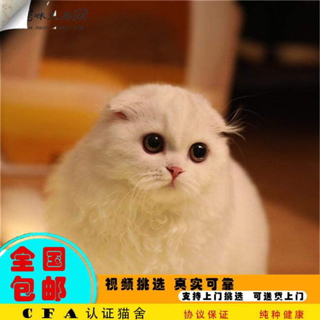 家养折耳猫活体宠物猫仙女猫优雅高贵气质带CFA证书
