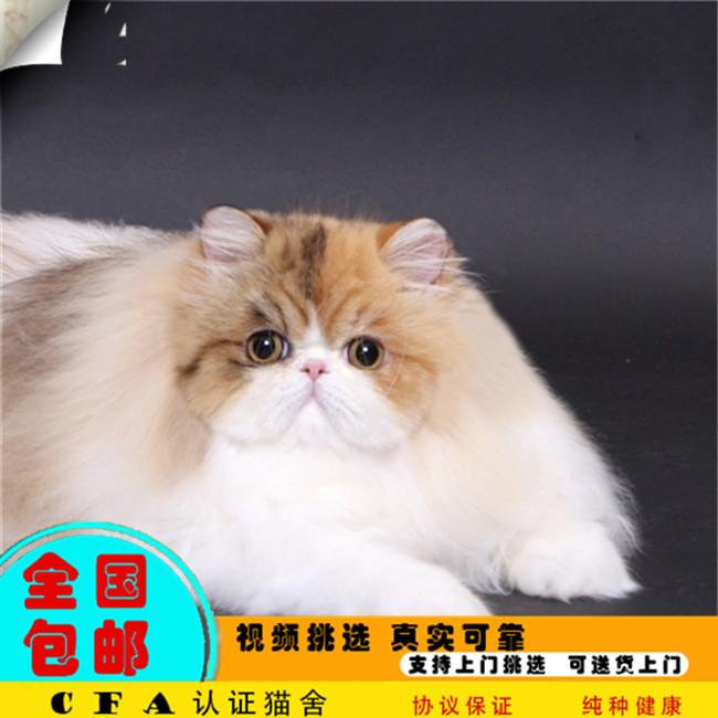 家养波斯猫活体宠物猫仙女猫优雅高贵气质带CFA证书