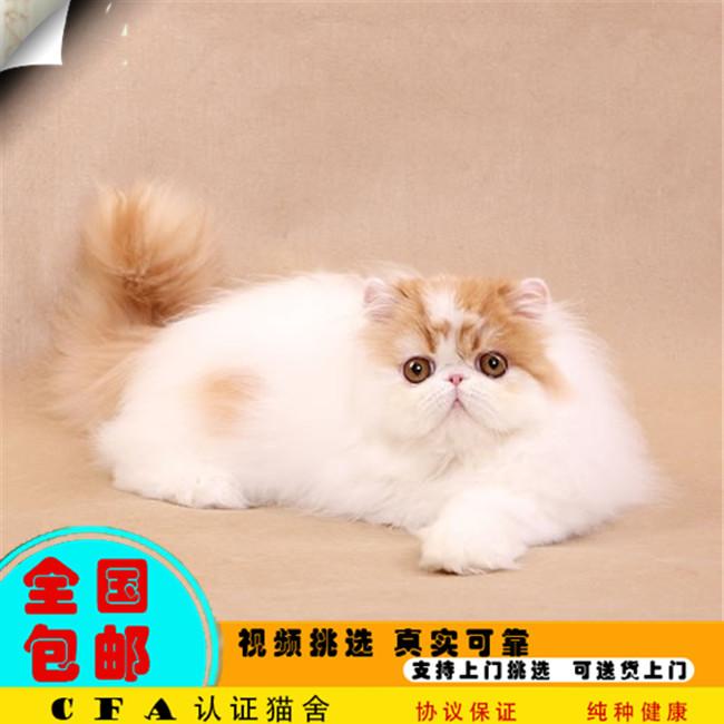家养波斯猫幼猫活体宠物猫仙女猫优雅高贵气质带CFA证书