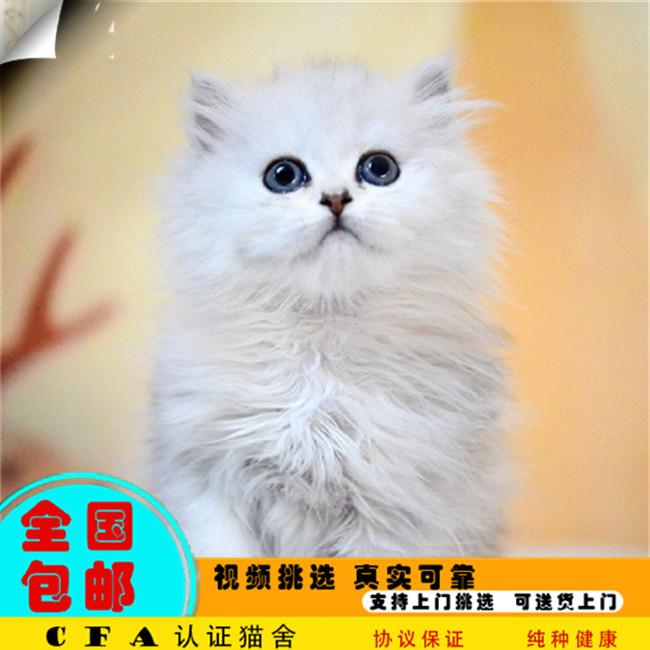 家养金吉拉猫活体宠物猫仙女猫优雅高贵气质带CFA证书