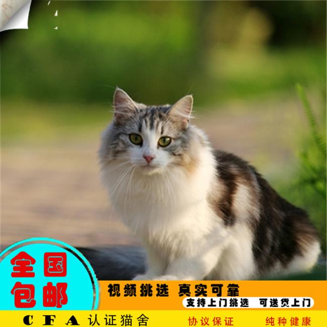 家养缅因猫活体宠物猫仙女猫优雅高贵气质带CFA证书