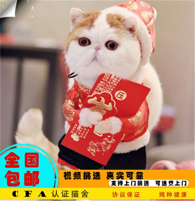 家养加菲猫活体宠物猫仙女猫优雅高贵气质带CFA证书4