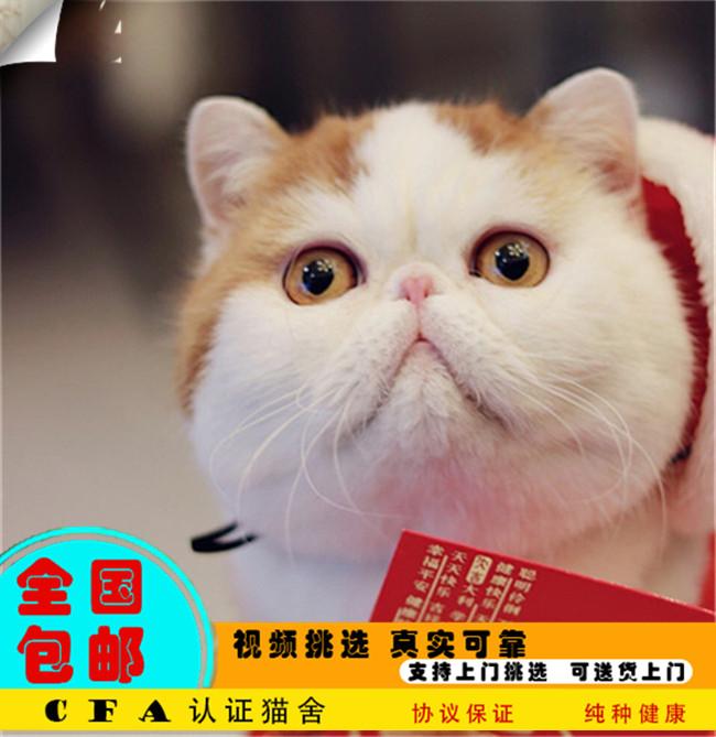 家养加菲猫活体宠物猫仙女猫优雅高贵气质带CFA证书