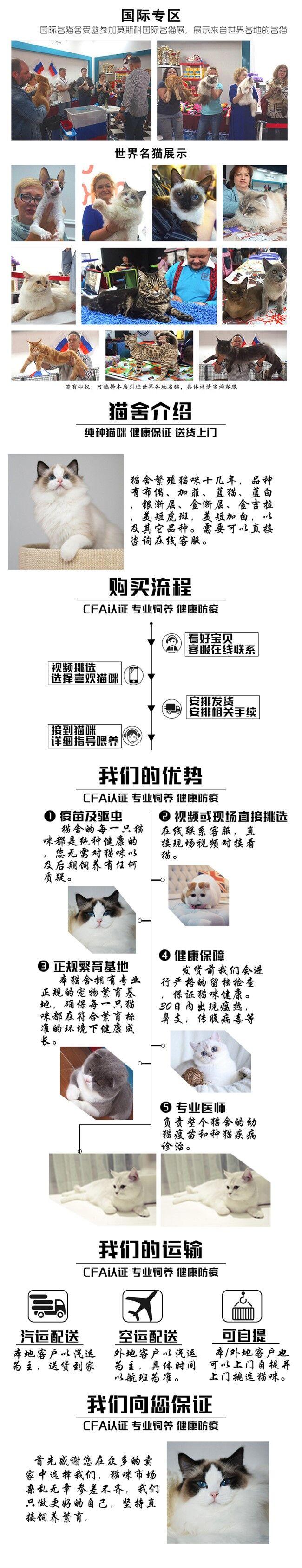 家养加菲猫活体宠物猫仙女猫优雅高贵气质带CFA证书5