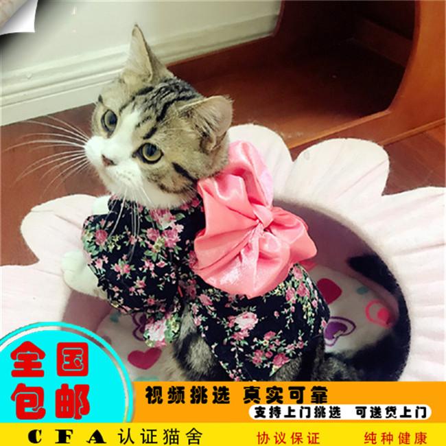 家养美国短毛幼猫活体宠物猫仙女猫优雅高贵气质带CFA证书