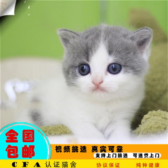 家养曼基康猫活体宠物猫仙女猫优雅高贵气质带CFA证书