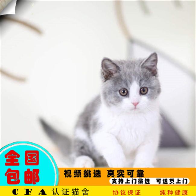 家养蓝猫活体宠物猫仙女猫优雅高贵气质带CFA证书