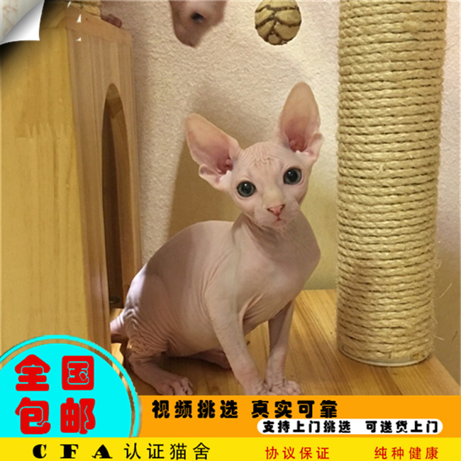 家养无毛猫活体宠物猫仙女猫优雅高贵气质带CFA证书