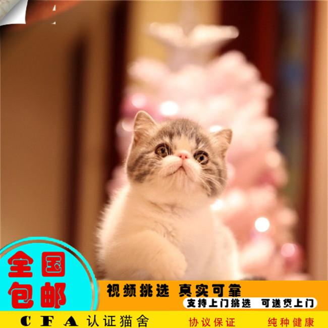 家养加菲猫幼猫活体宠物猫仙女猫优雅高贵气质带CFA证书