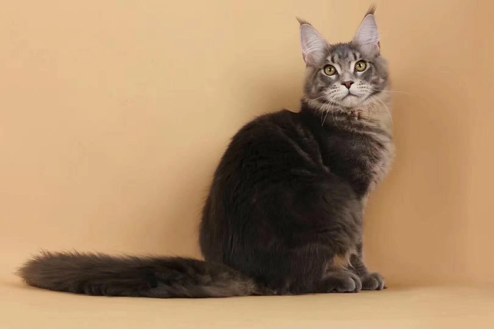 全国各地都可以发货包运费缅因猫现货出售包纯种保健康2
