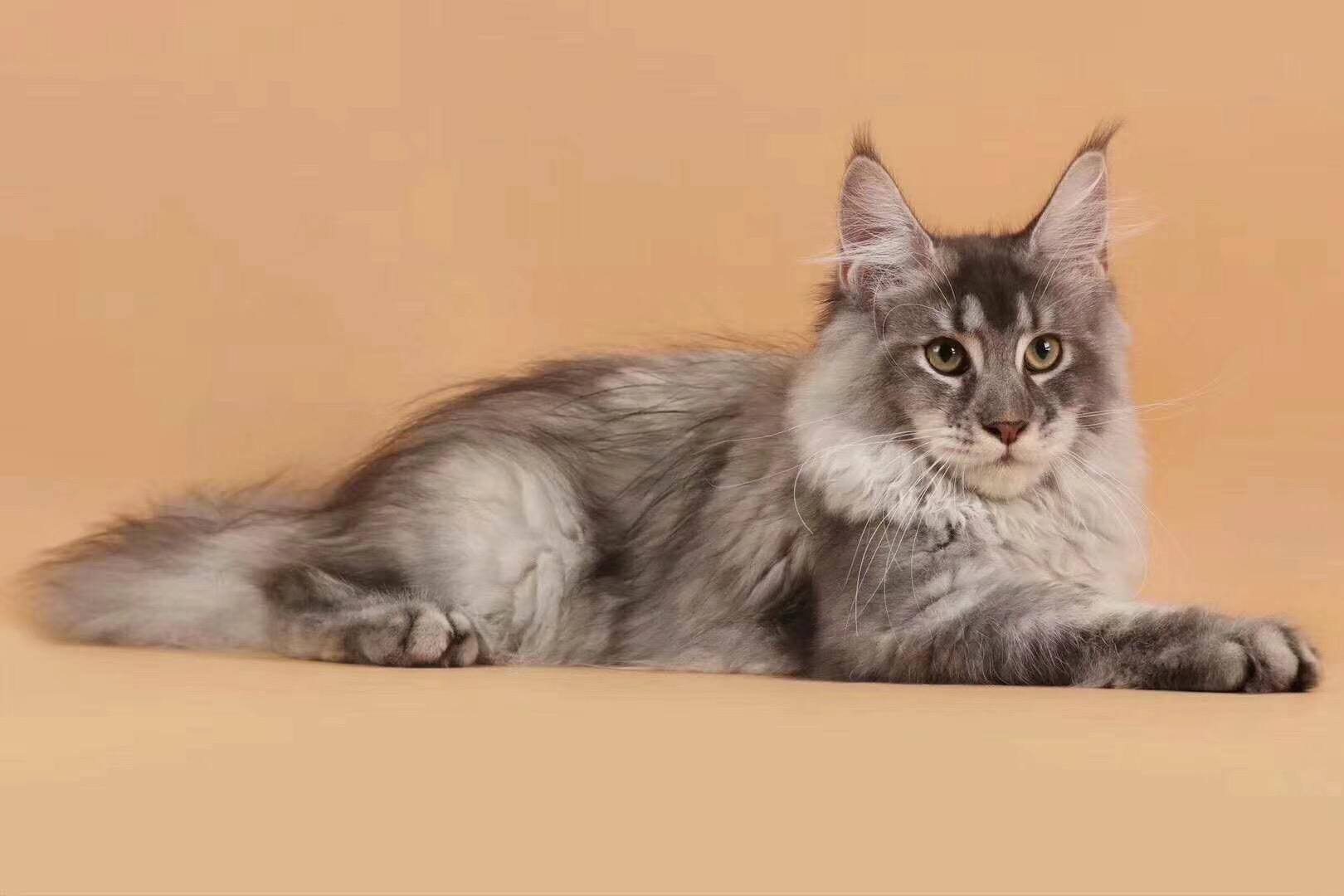 全国各地都可以发货包运费缅因猫现货出售包纯种保健康3