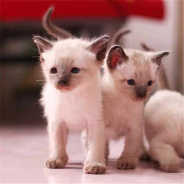 自家泰国暹罗猫血统纯正上门挑选品质三包纯种精品蓝眼
