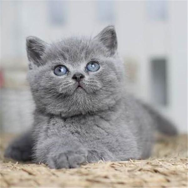 出售纯种健康 英短英长折耳立耳 蓝白蓝猫净梵高地
