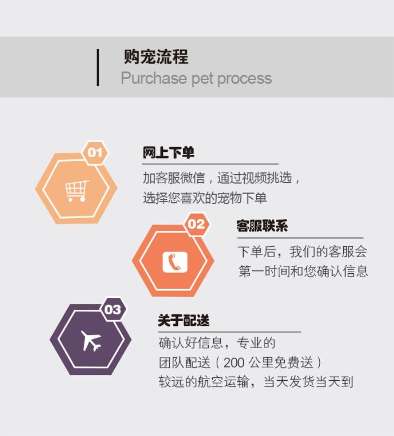 全国各地都可以发货包运费缅因猫现货出售包纯种保健康7