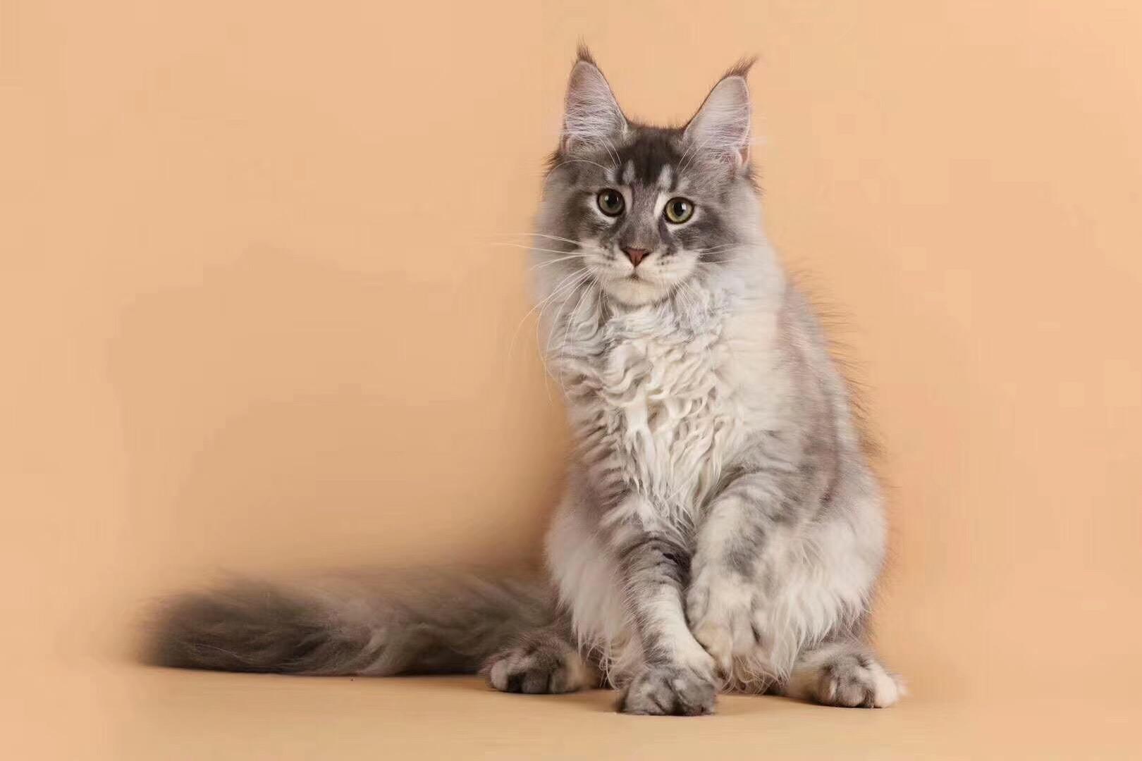 全国各地都可以发货包运费缅因猫现货出售包纯种保健康4