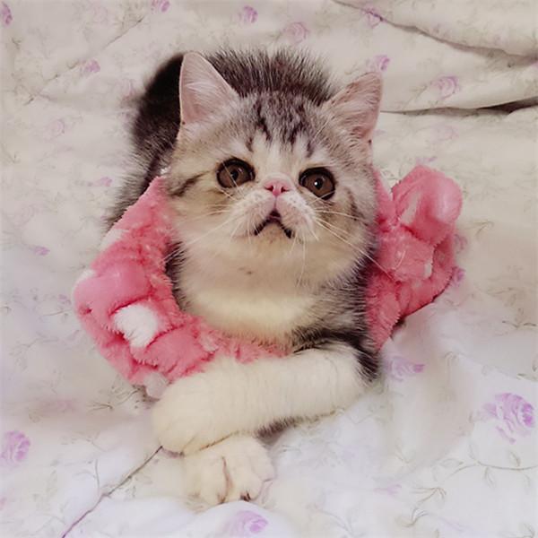 异国短毛猫幼猫活体纯种加菲猫红小胖净梵纯白